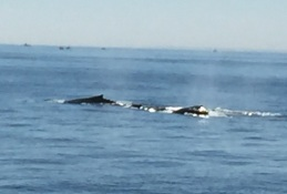 2017-07-16 Gloucester Whale Watching 31