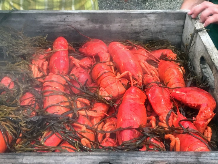 2017-07-20 Searsport - Lobster 09