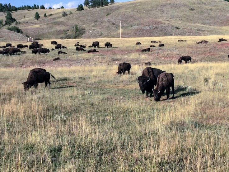 2017-09-17 Black Hills 31 Custer Wildlife 04 Bison