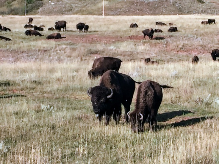 2017-09-17 Black Hills 31 Custer Wildlife 05 Bison