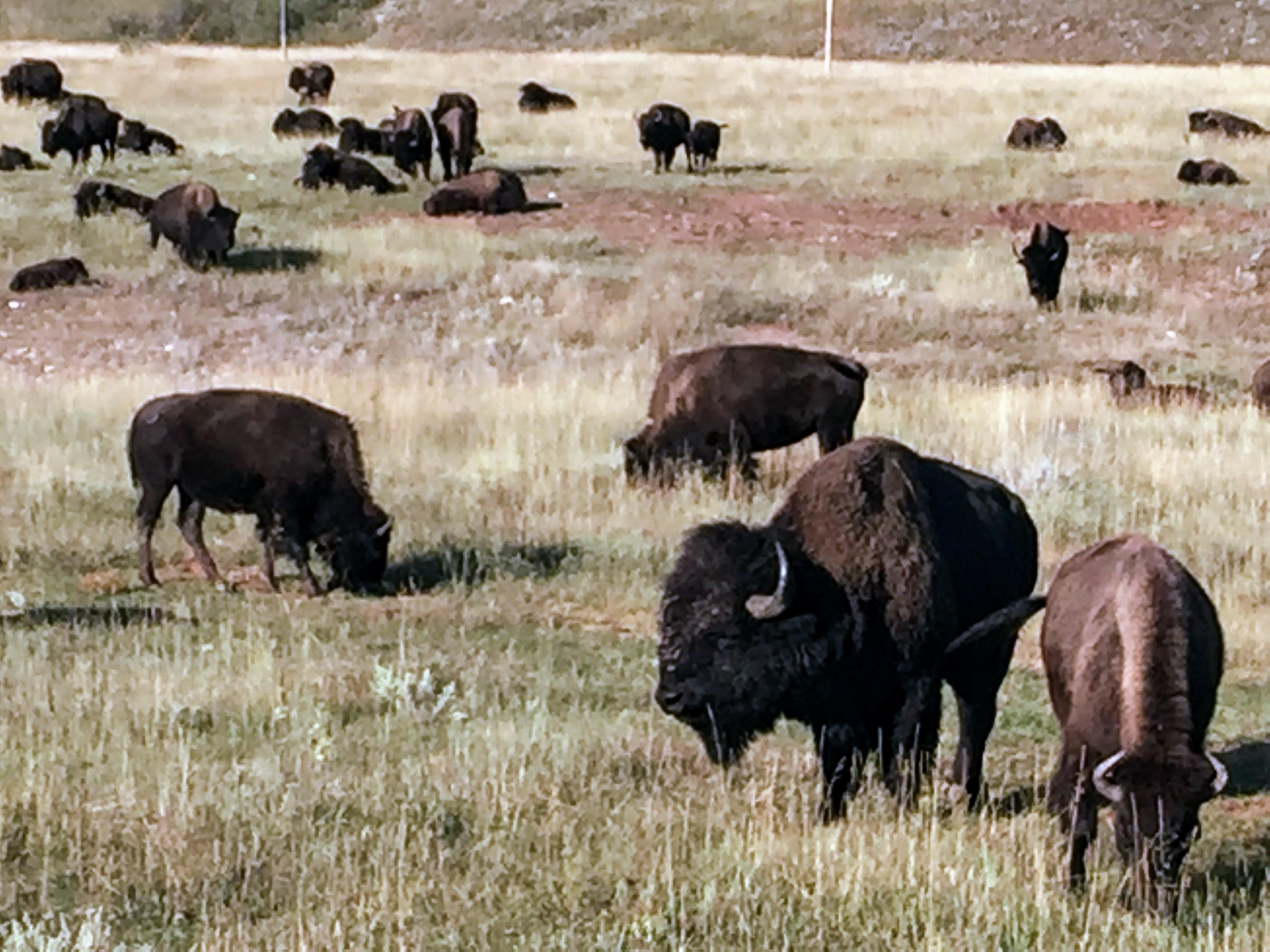 2017-09-17 Black Hills 31 Custer Wildlife 06 Bison