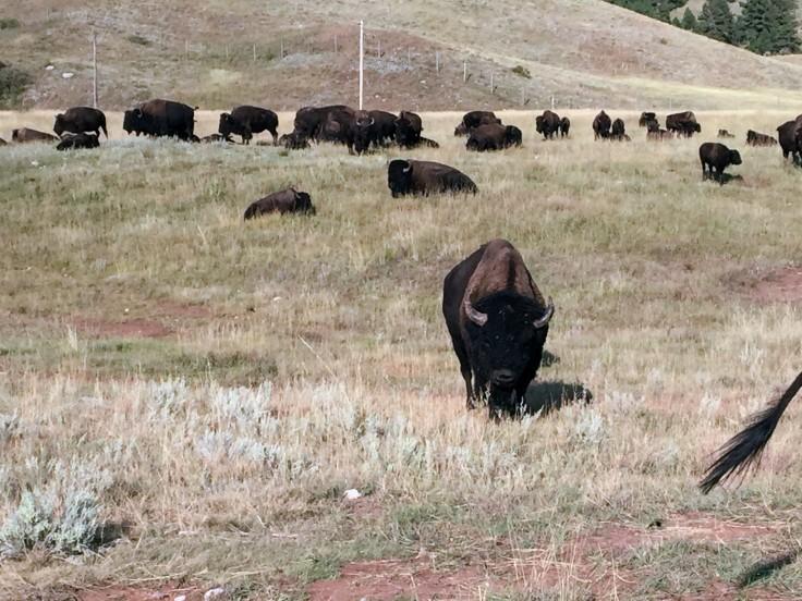 2017-09-17 Black Hills 31 Custer Wildlife 08 Bison