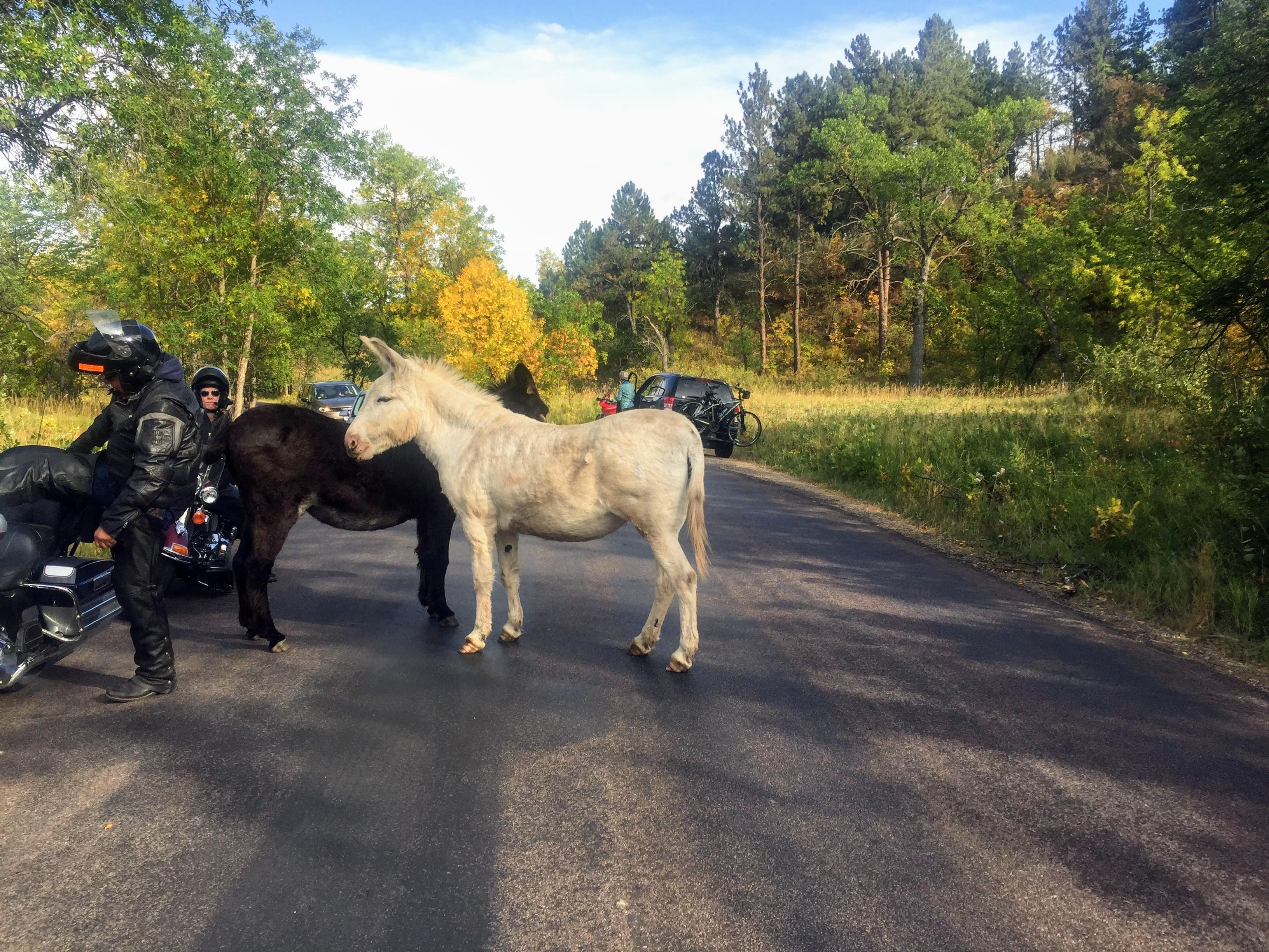 2017-09-17 Black Hills 32 Custer Wildlife 01 Donkey