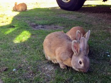 2017-09-27 Washington 02 Langley Rabbits 02