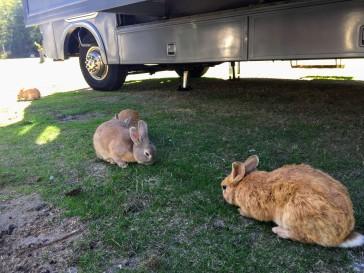 2017-09-27 Washington 02 Langley Rabbits 03